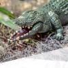 Ferngesteuertes Krokodil Alligator RC Spielzeug mit Fernbedienung Controller Kinder Kind 45cm